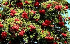 Picture autumn, Bush, berry, Rowan
