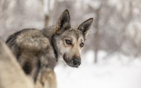 Picture look, each, dog, huskies