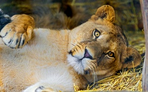 Picture look, face, Leo, lioness