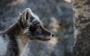 Picture portrait, Fox, Fox, polar, in summer furs