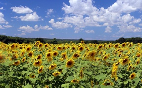 Picture field, clouds, sunflowers, nature, Nature, field, clouds, sunflowers