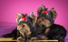 Picture pair, bow, Yorkshire Terrier