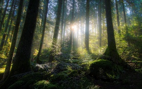 Wallpaper forest, the sun, light, trees, moss, ray