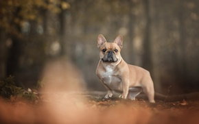 Picture autumn, forest, foliage, dog, French bulldog, Shorty