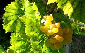 Wallpaper leaves, line, berries, paint, harvest, grapes