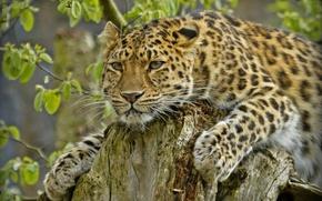 Picture stump, predator, handsome, the Amur leopard