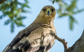 Picture look, Steppe eagle, the bird is a predator