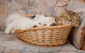 Picture basket, pers, kitty