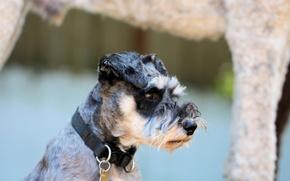 Picture dog, nose, collar, watchdog