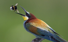 Picture Hungary, tossing caught bumblebee, European bee-eater (Merops apiaster; European Bee-eater), медье Чонград (Csongrád county), may …