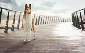 Picture bridge, background, dog