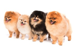 Picture eyes, look, fluffy, Dogs, Spitz, Spitz