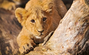 Picture wild cats, lion, sneaks
