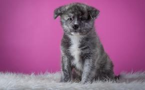 Picture grey, background, pink, dog, puppy, fur, sitting, friendly, Akita inu, Akita