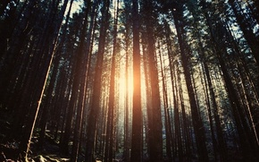 Picture trees, the sun's rays, forest, nature