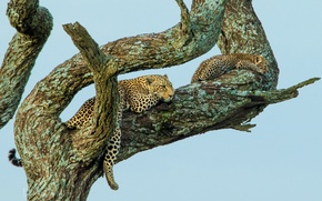Picture tree, stay, baby, leopards