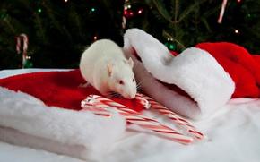 Picture candy, rat, caps