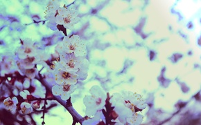 Picture greens, flowers, heat, spring, apricot, Apple, bokeh
