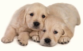 Picture Dogs, Animals, Two Puppies