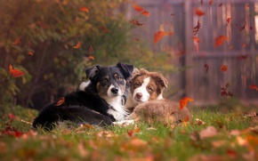 Picture autumn, dogs, nature