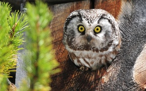 Picture owl, the hollow, Tengmalm's owl