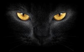 Picture yellow eyes, black cat, wild, yellow eyes, Black cat, wild