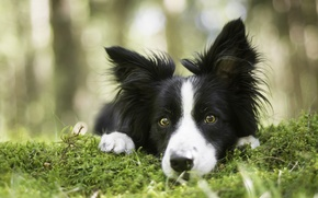 Picture look, face, moss, dog, The border collie