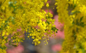 Wallpaper tree, spring, yellow, flowering, flowers, acacia