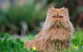 Picture cat, red, Persian cat