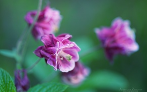 Picture macro, tenderness, Flowers, morning