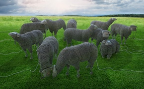 Picture wire, sheep, pasture, phones