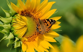Wallpaper flower, butterfly, sunflower