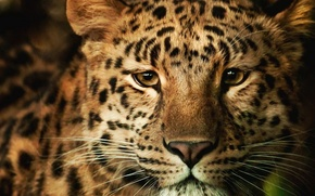 Picture face, Wallpaper, fluffy, leopard