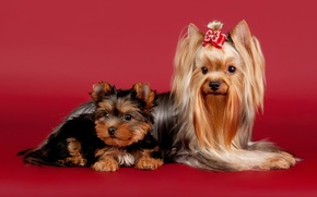 Picture dogs, beauty, bow, Yorkshire Terrier