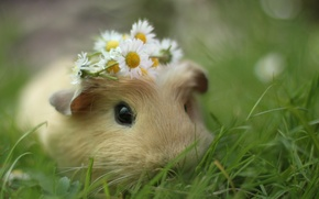 Picture grass, macro, flowers, chamomile, muzzle, wreath, sea, pig, rodent