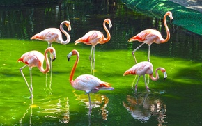 Picture birds, paint, Flamingo, zoo