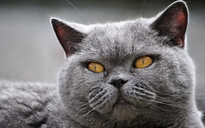 Picture cat, eyes, cat, close-up, grey, portrait, mordaha, British, thick, yellow eyes, expressive