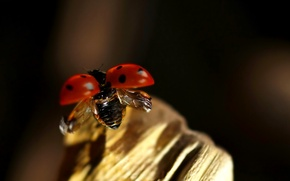 Picture flight, ladybug, beetle, insect
