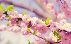 Picture flowers, spring, petals, Sakura, flowering, cherry.branch