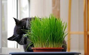 Picture grass, black, Cat