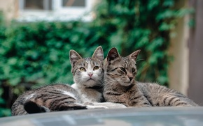 Picture background, stay, cats, pair