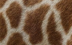 Picture macro, texture, wool, giraffe, spot, skin, fur