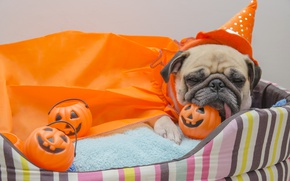 Picture pug, Pumpkin, Dogs, Halloween, pumpkin, Halloween, toys, dog