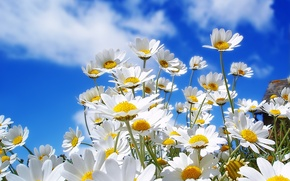 Wallpaper flowers, the sky, chamomile