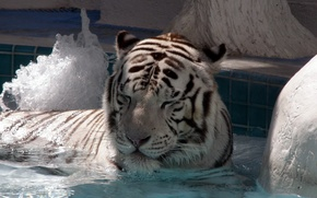 Picture tiger, big cat, lie, swim