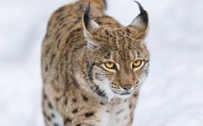 Wallpaper lynx, predator, winter, face, wild cat, brush