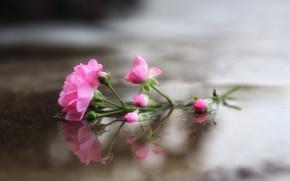 Wallpaper flowers, roses, background
