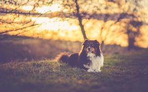 Picture grass, trees, field, dog, sundown, sunlight, branches, silhouettes, australian shepherd, canine, sunseu