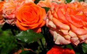Picture flowers, rain, roses