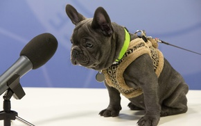 Picture dog, bulldog, microphone, vest, French bulldog, interview